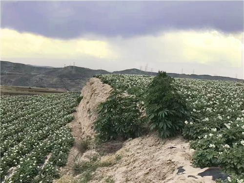 定西土豆种植基地