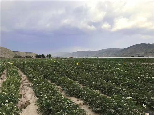 土豆种植基地